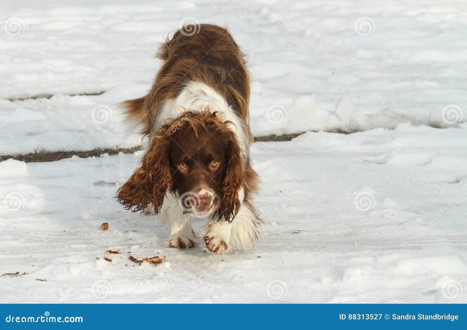Um cão bonito do spaniel de Springer inglês que anda na neve