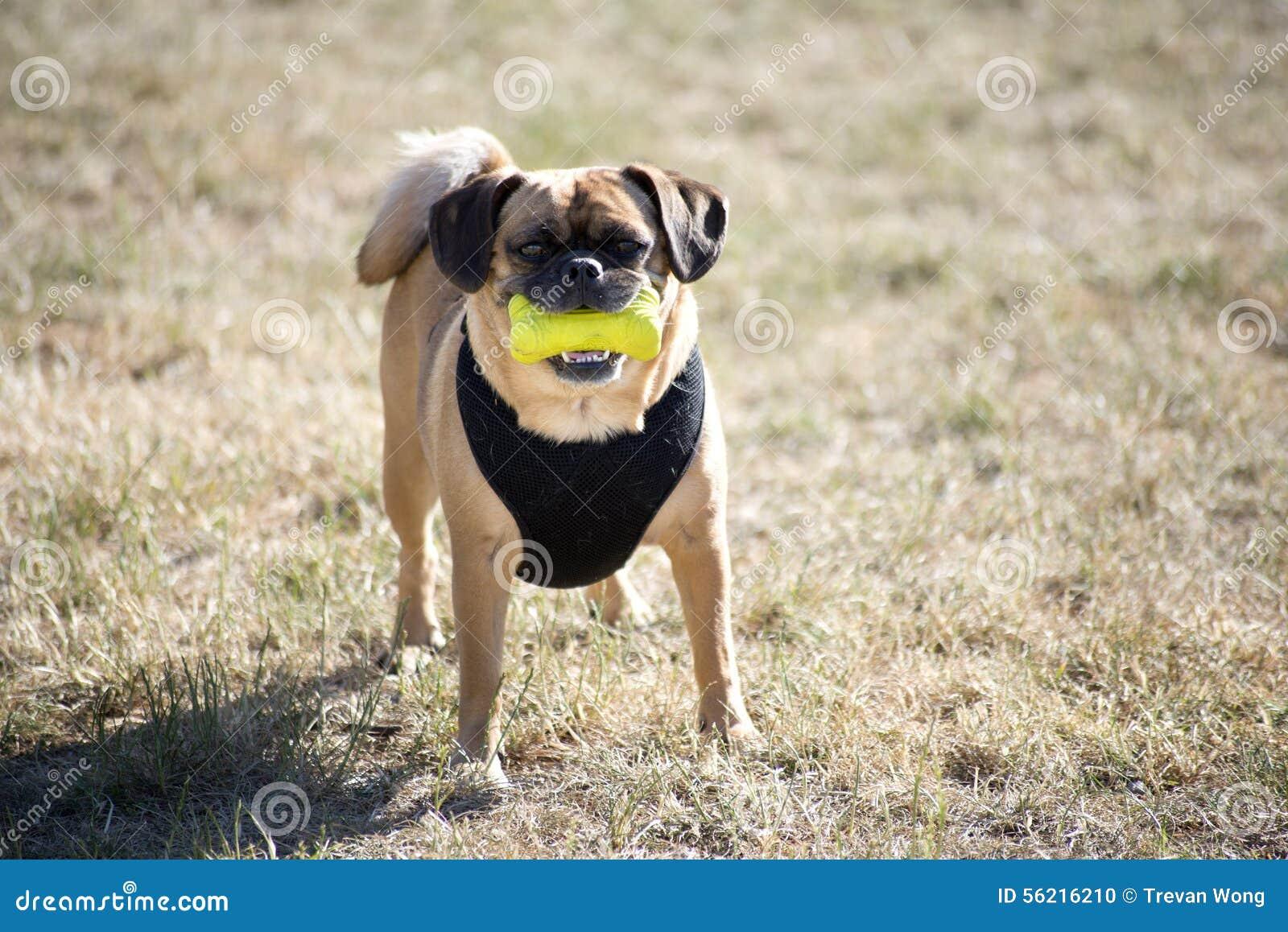 Um cão com brinquedo do aperto