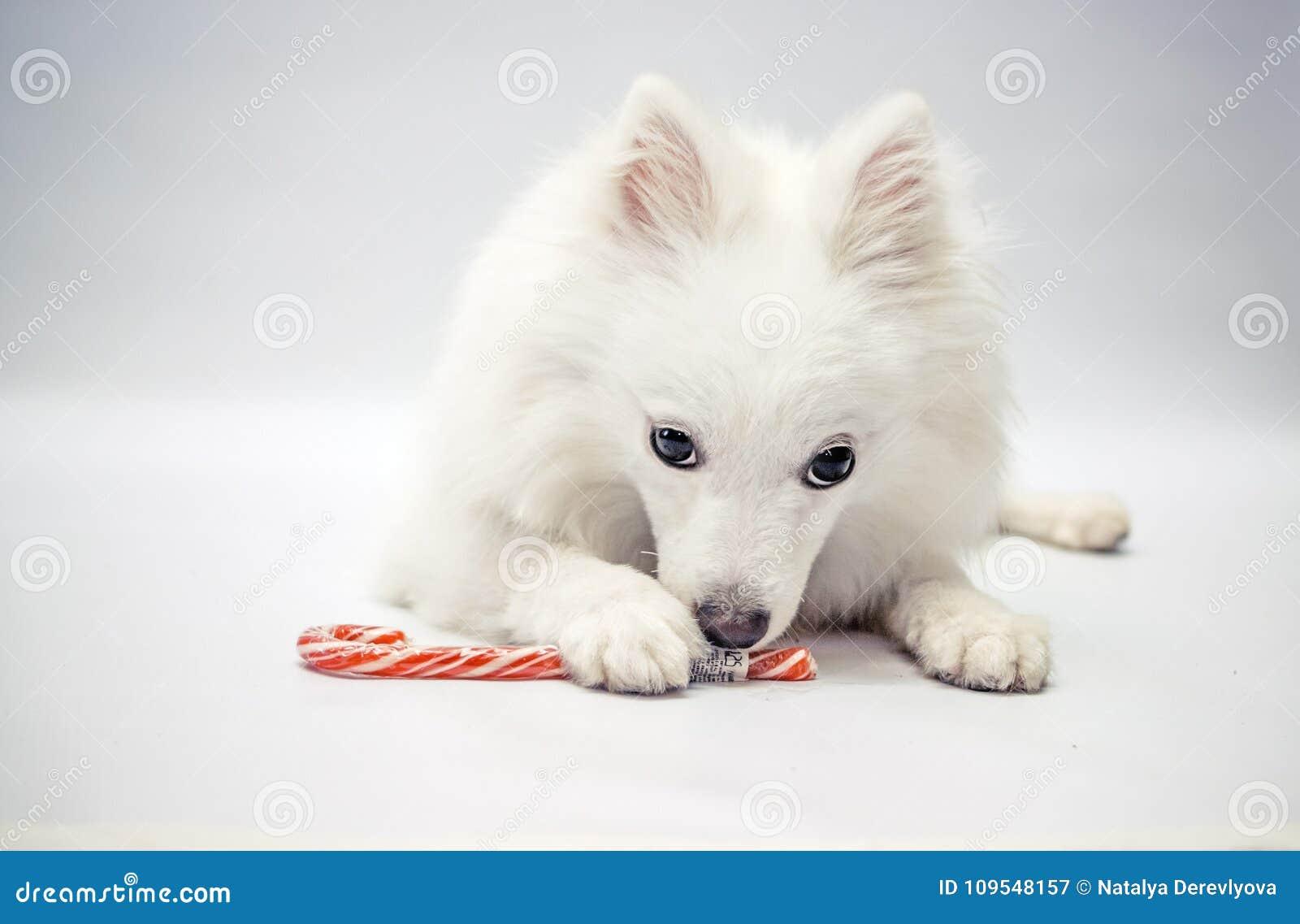 Um cão com uns doces do Natal