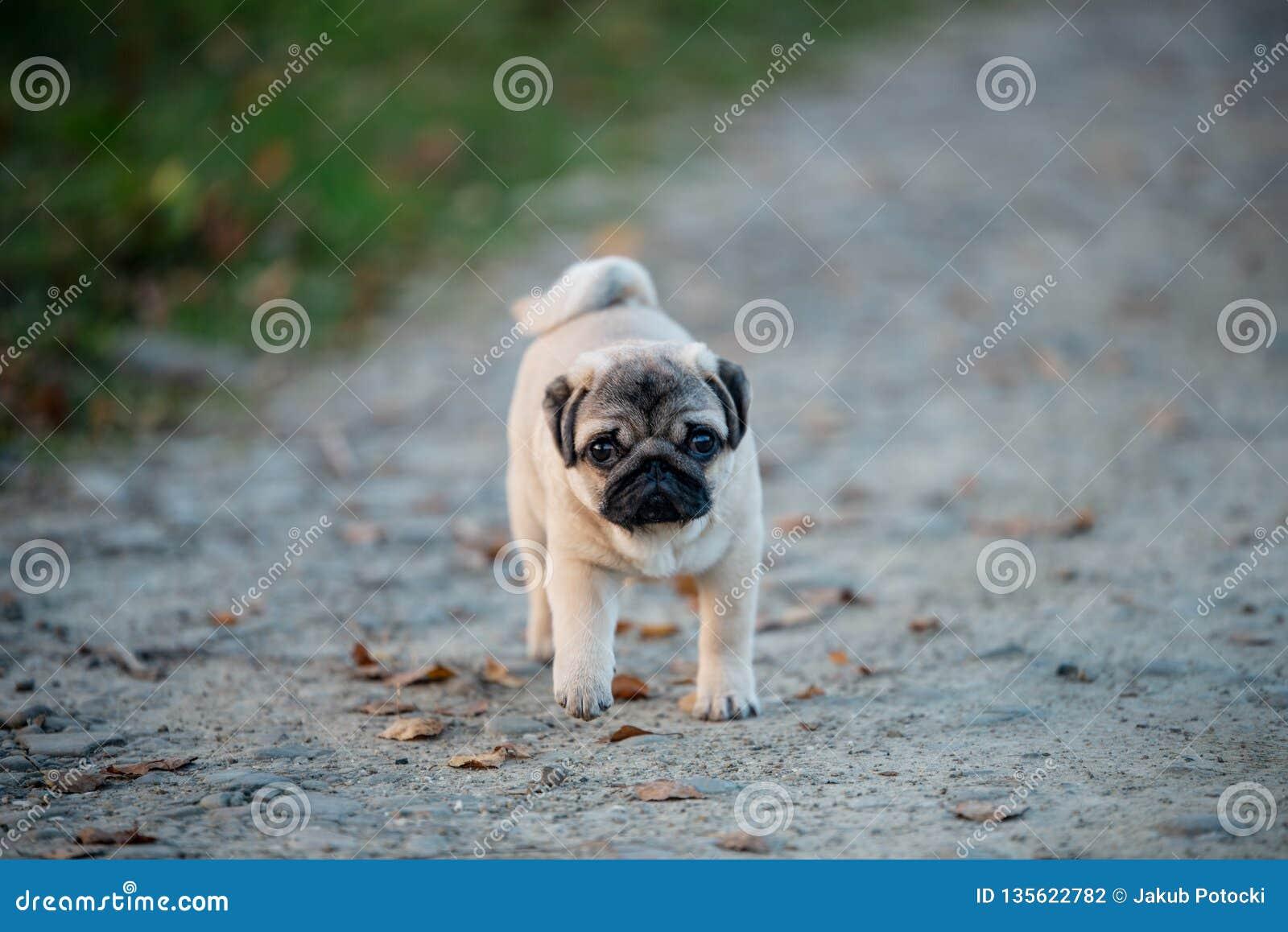 Um cão de cachorrinho bonito, pug está andando através de um trajeto em um parque com uma cara triste