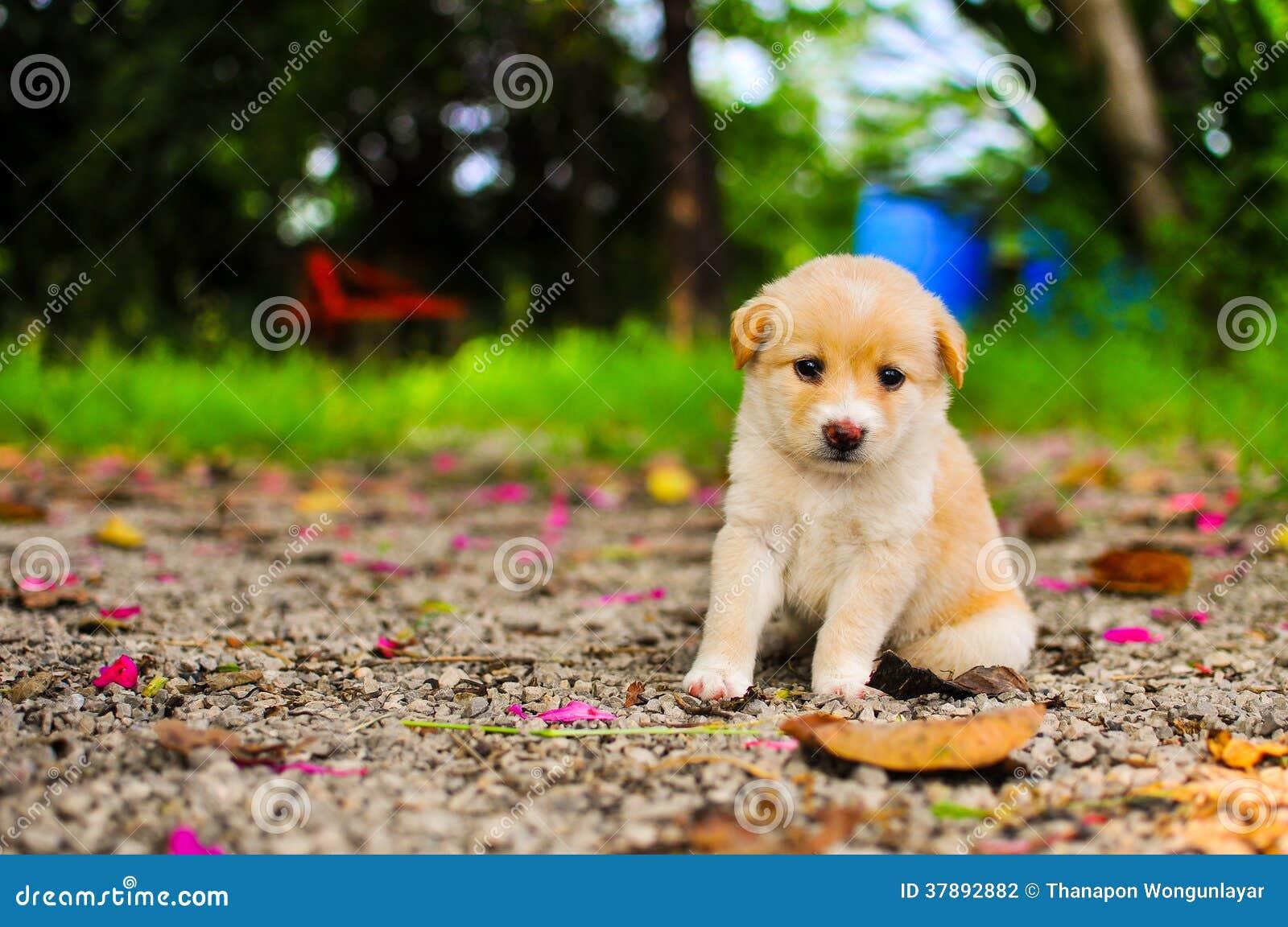 Um cão de cachorrinho tailandês pequeno.