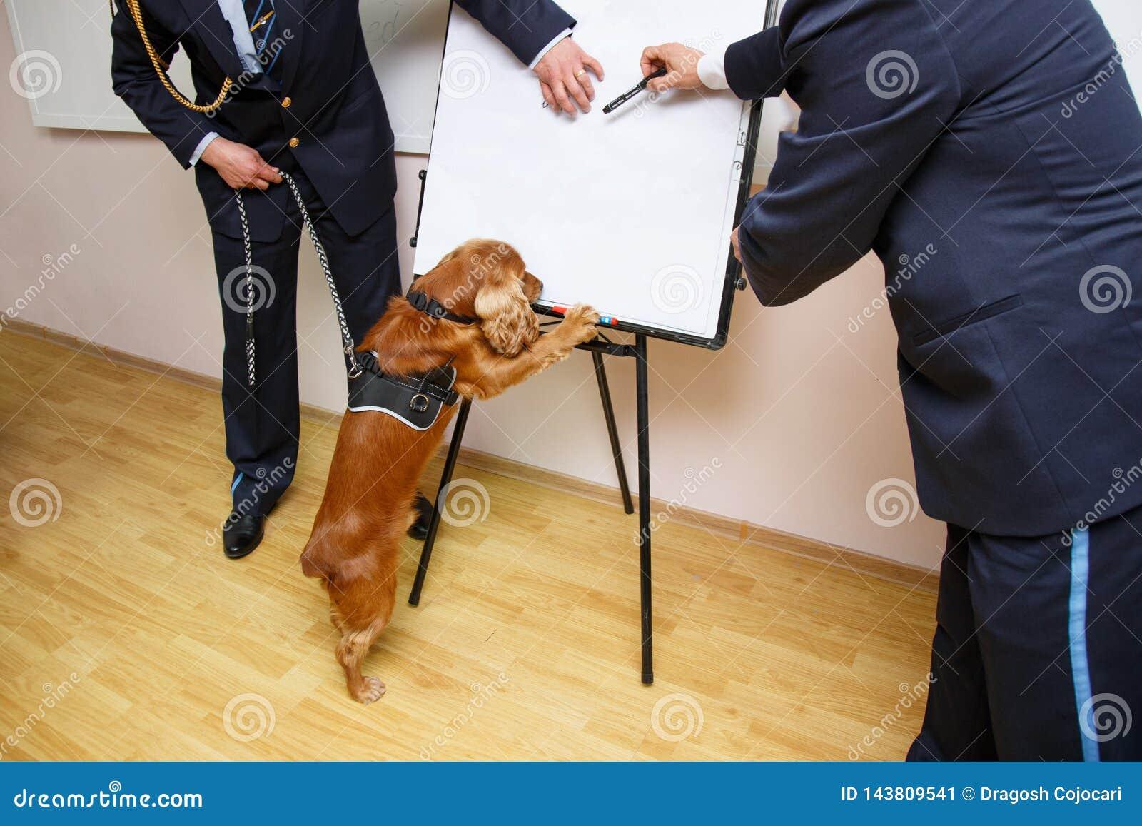 Um cão de cocker spaniel para a detecção de droga assentado no escritório de alfândega com as patas na tabela, perto do empregado