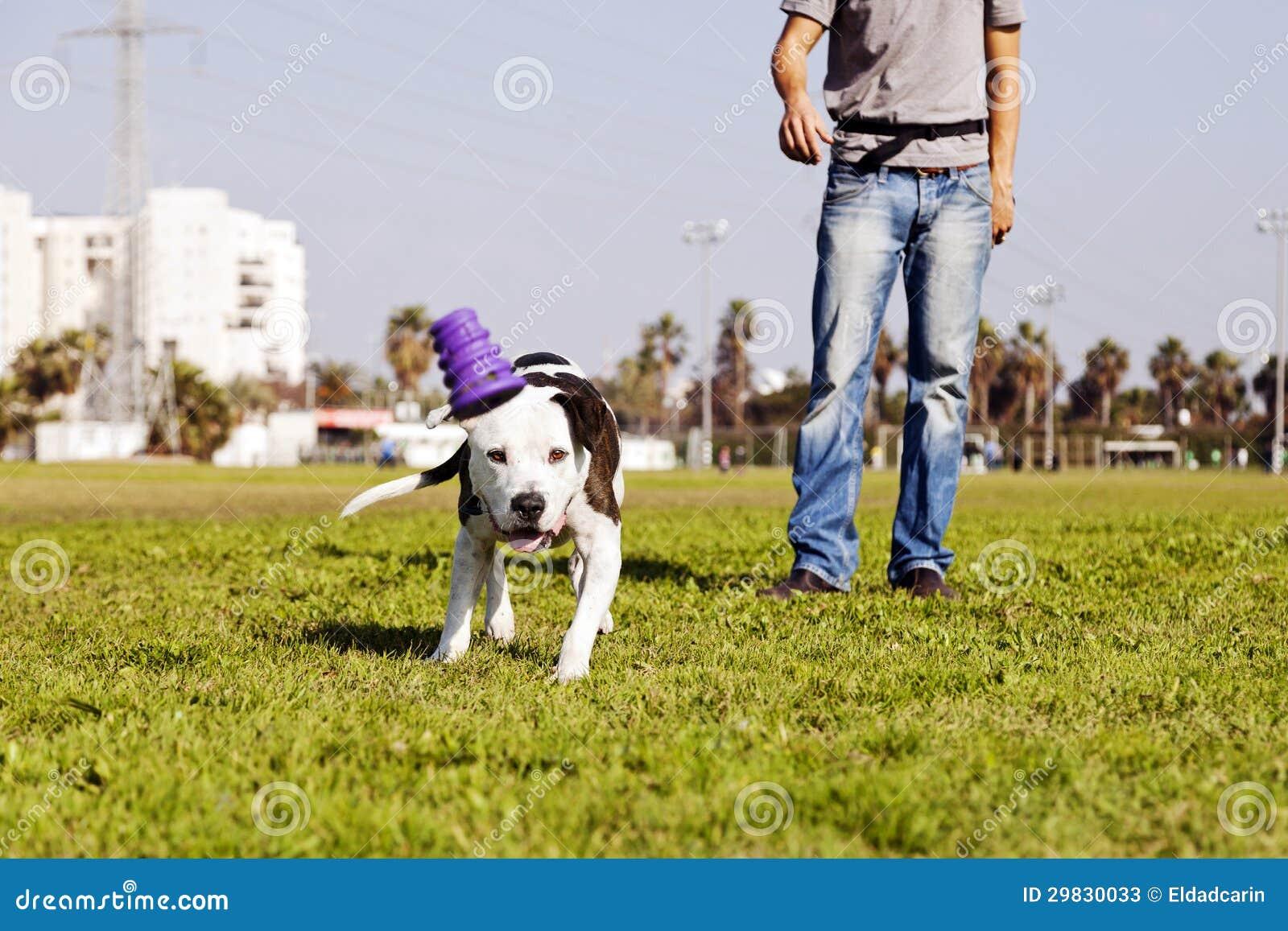 Pitbull que funciona após o brinquedo do cão na grama do parque