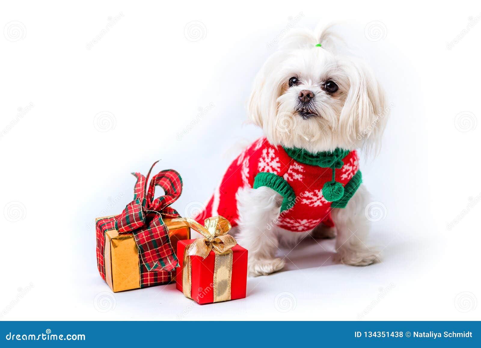 Um cão desgrenhado branco pequeno