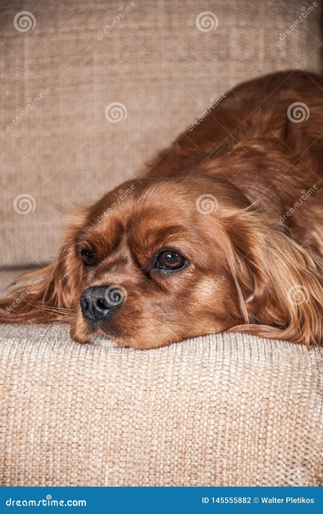 Um cão em um sofá