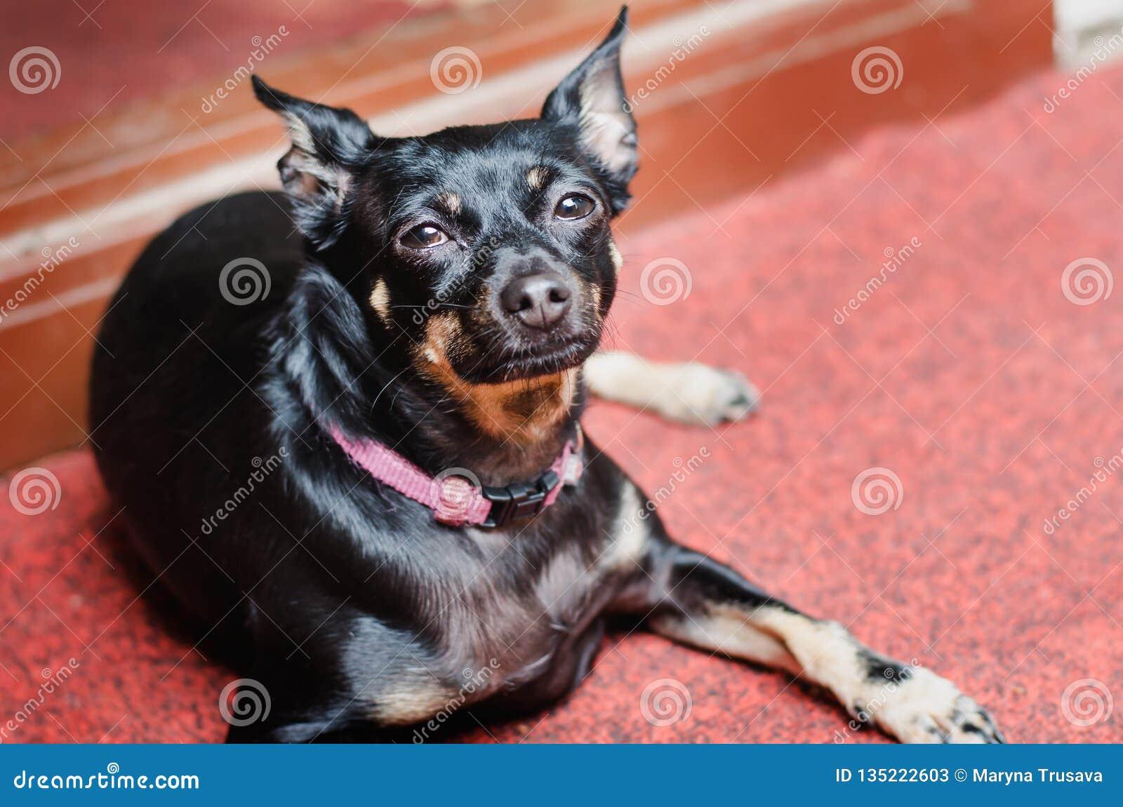Um cão liso-de cabelo preto pequeno descansa em um tapete vermelho