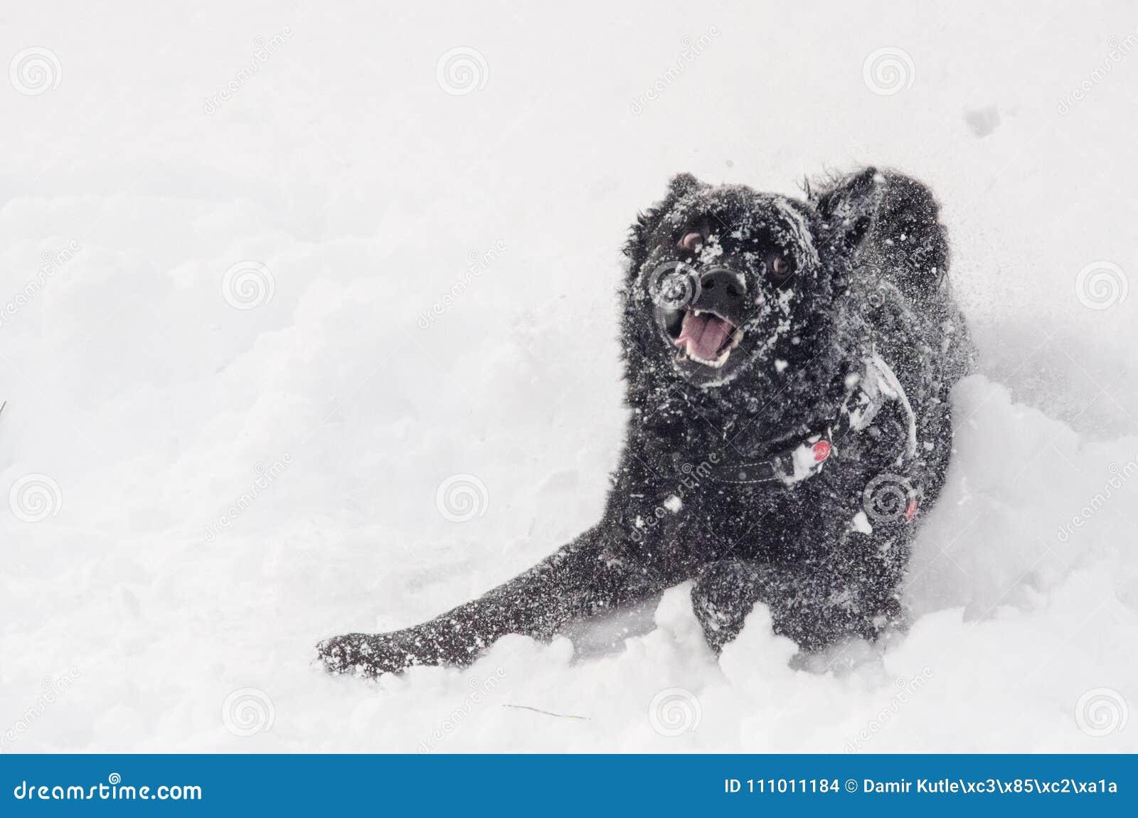 Um cão preto na neve engraçada