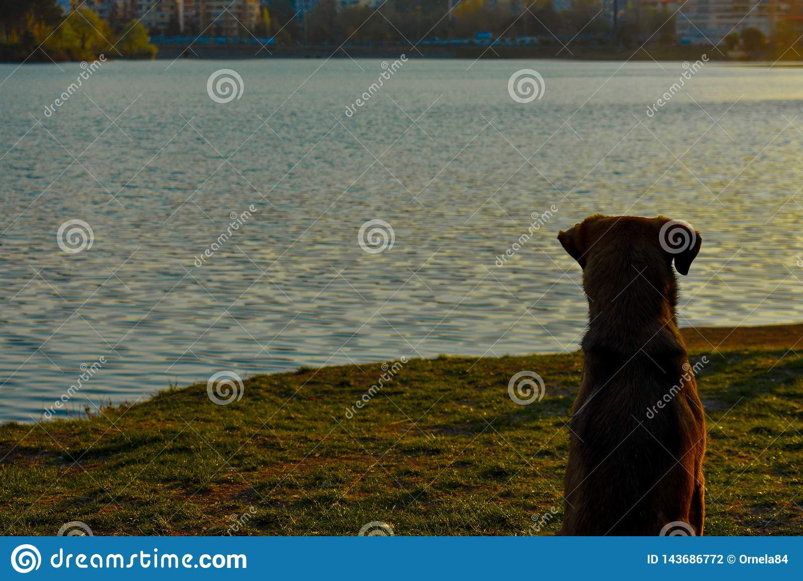 Um cão que senta-se na grama verde que aprecia o por do sol