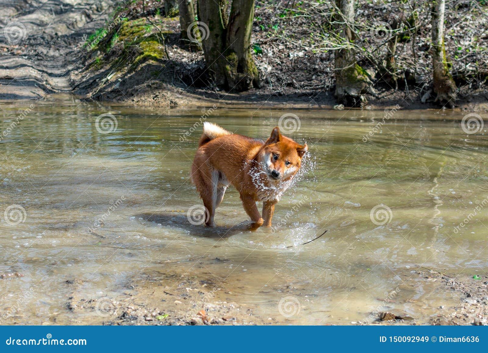 Um cão vermelho novo da posição da raça de Siba Inu em um rio da floresta e em uma agitação engraçada fora da água, fundo natural