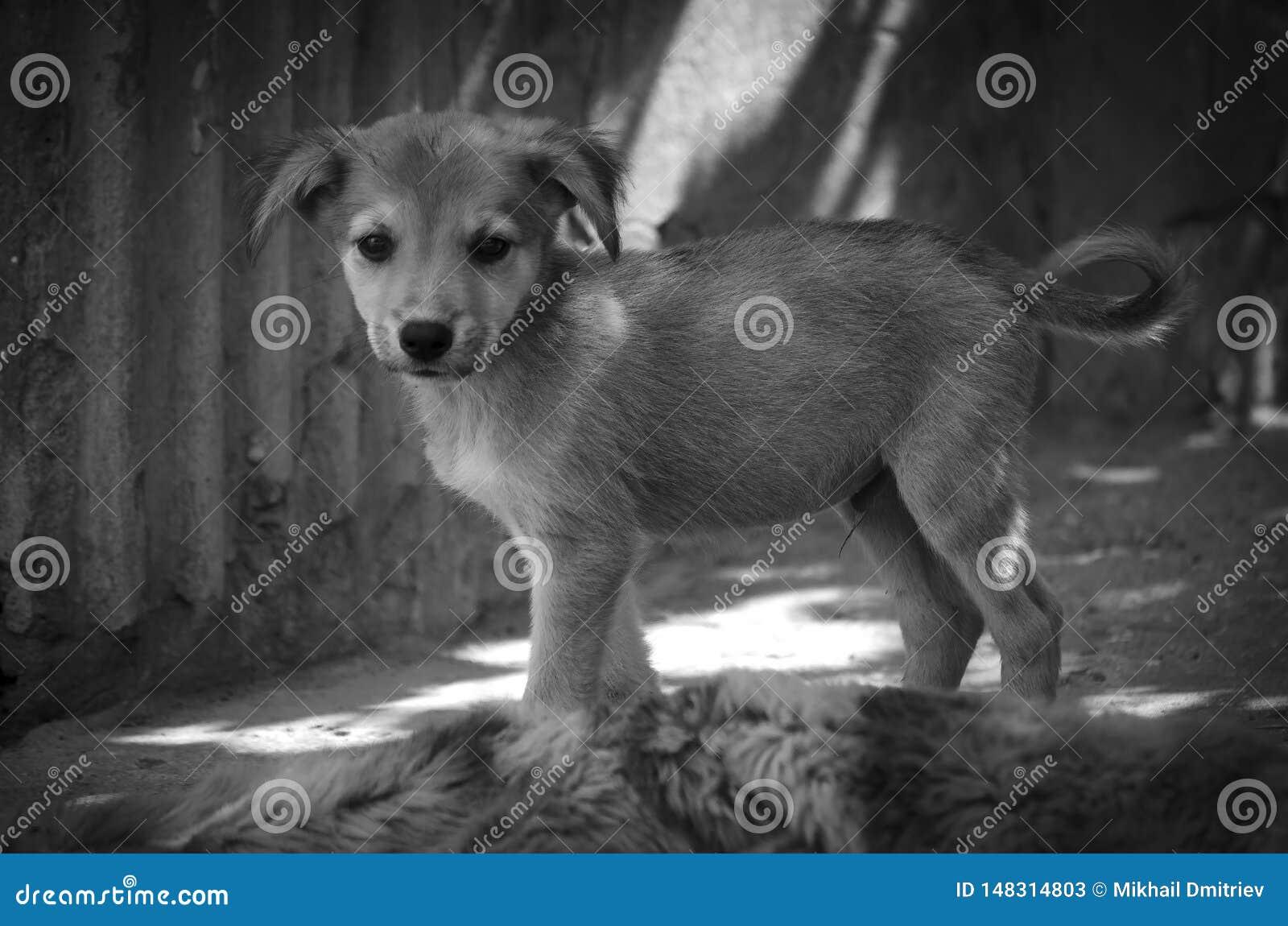 Um cachorrinho bonito com uma cauda pequena olha o fotógrafo monocrom?tico