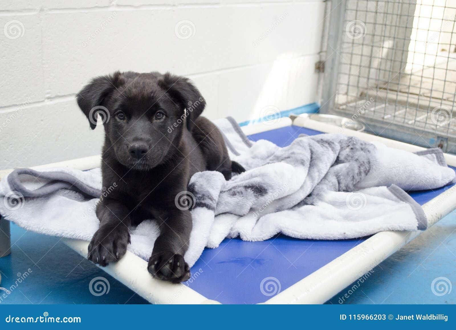 Um cachorrinho preto coloca em sua cama no abrigo animal