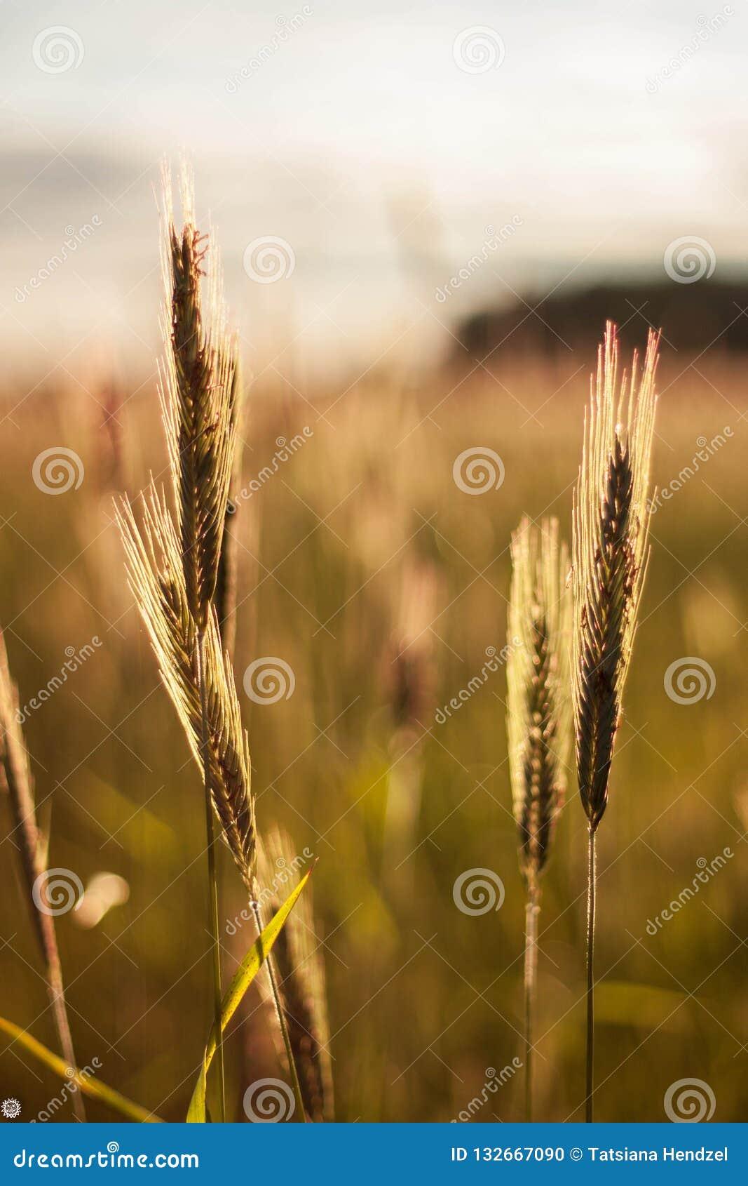 Um campo com as orelhas do trigo que balança no vento no por do sol