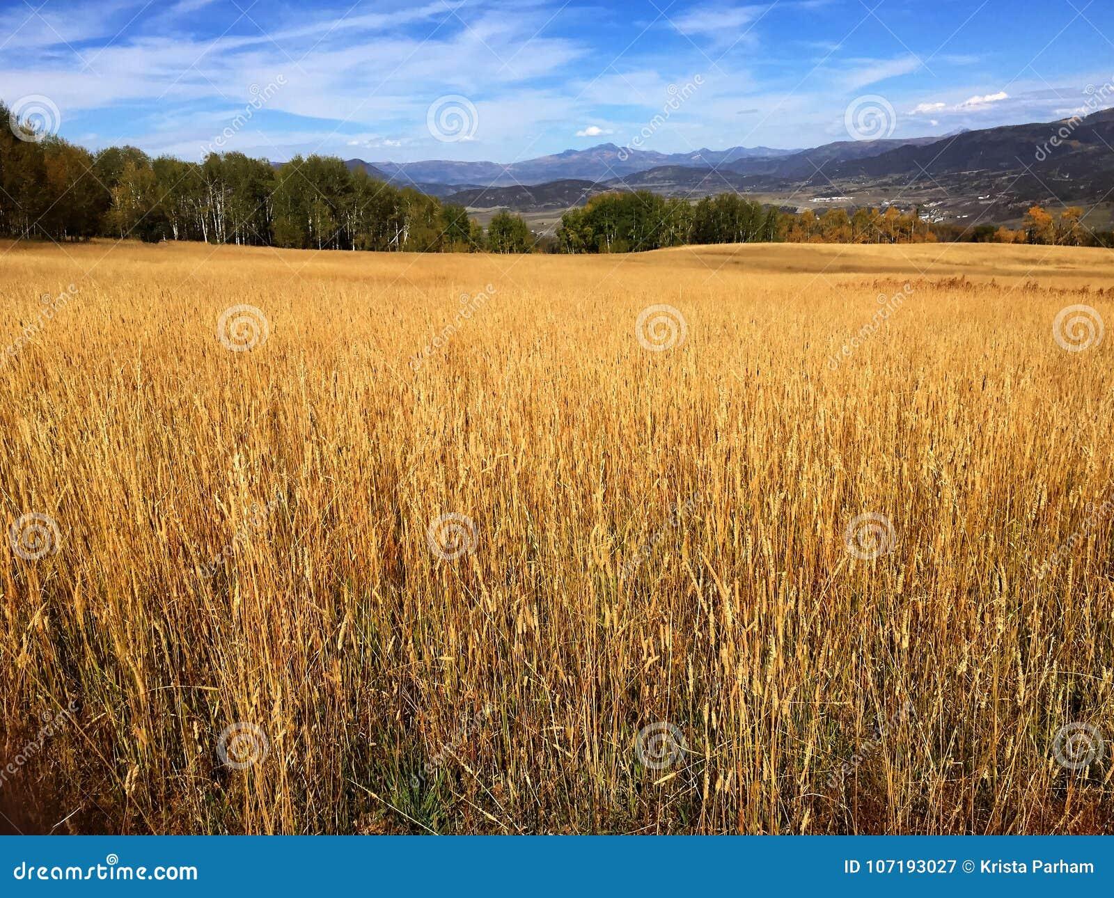 Um campo com um fundo montanhoso em Colorado
