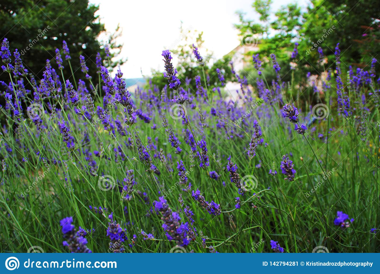 Um campo da alfazema perfumada