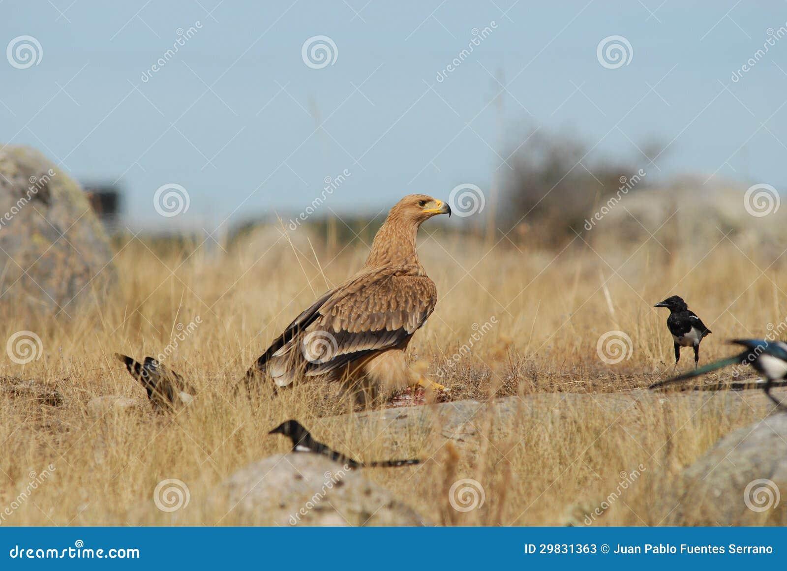 Campo imaturo da águia imperial