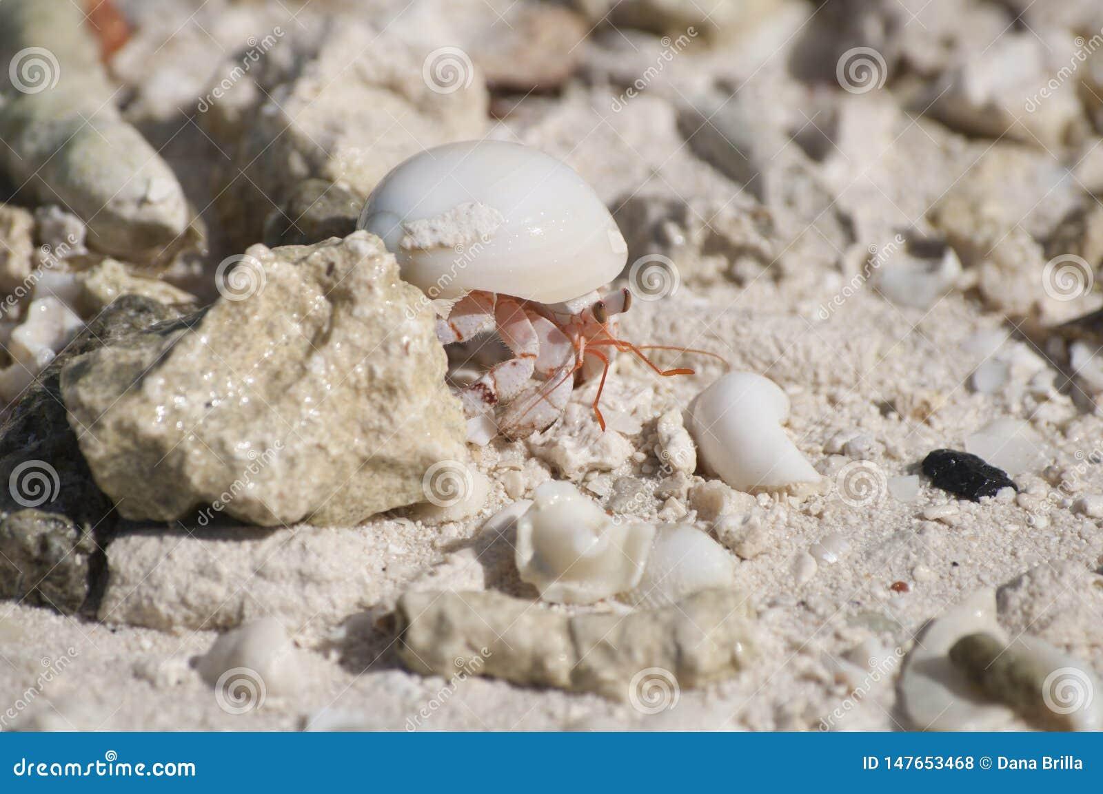 Um caranguejo de eremita na praia em Bora Bora