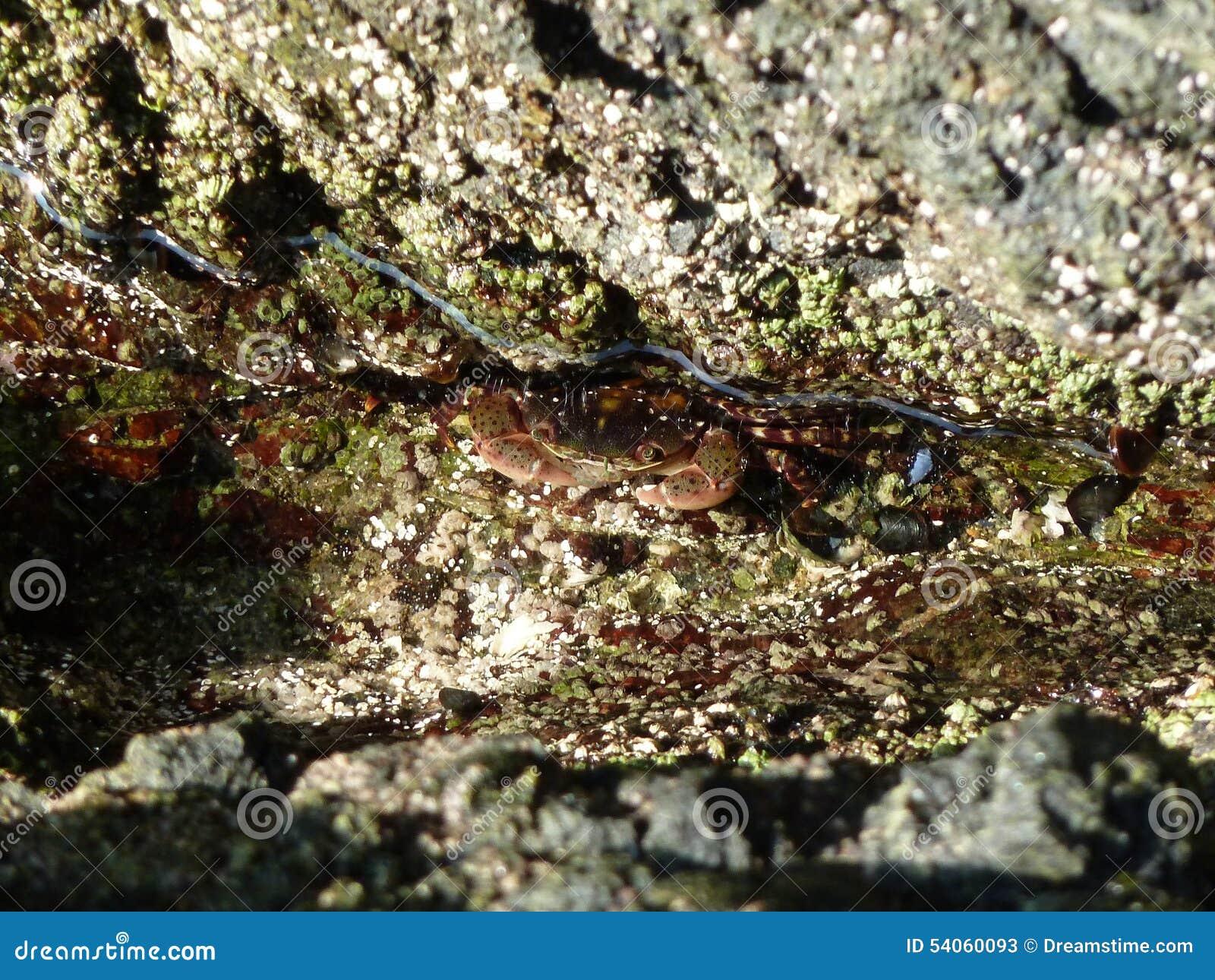 Um caranguejo pequeno do mar subaquático