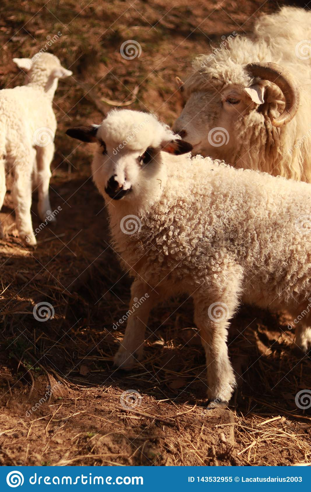 Um carneiro com um cordeiro