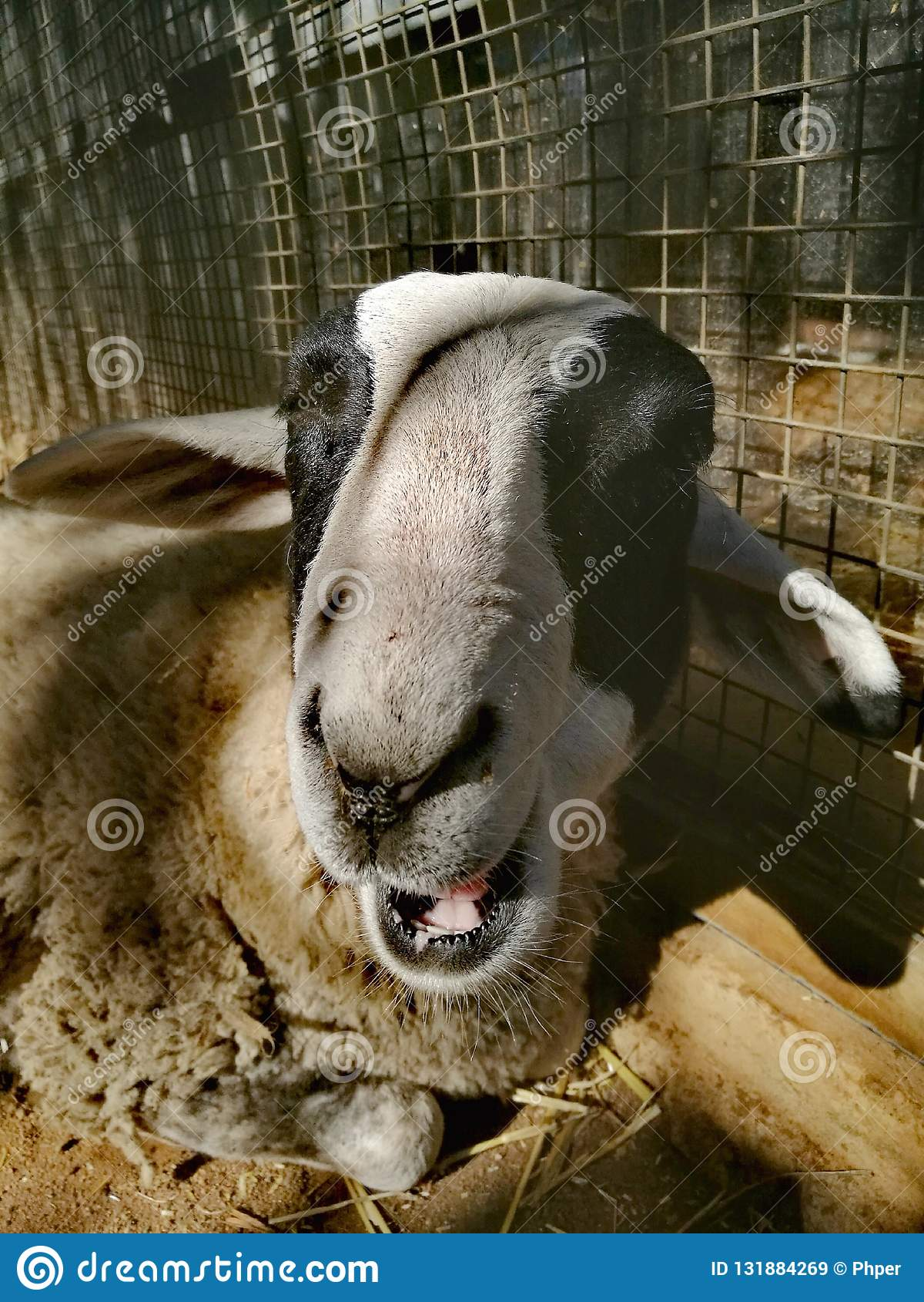 Um carneiro de sorriso