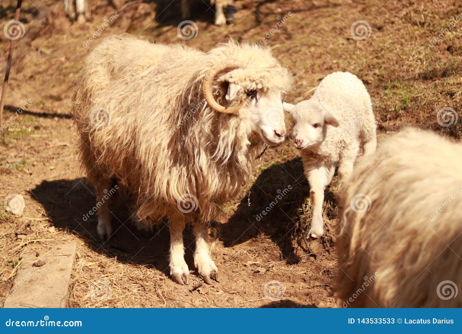 Um carneiro e são pouco cordeiro