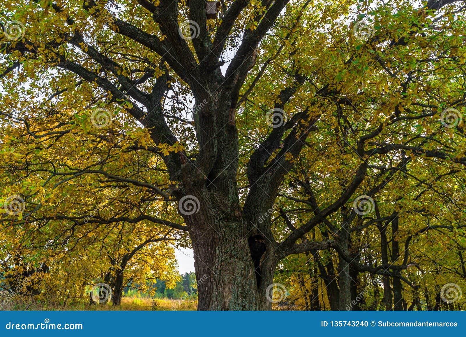 Um carvalho antigo velho poderoso, estando apenas na borda de um bosque do carvalho da relíquia outono dourado, folha amarela lux