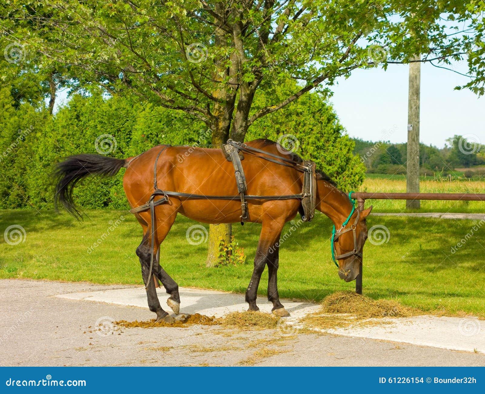 Um cavalo com o chicote de fios usado para puxar um vagão de amish