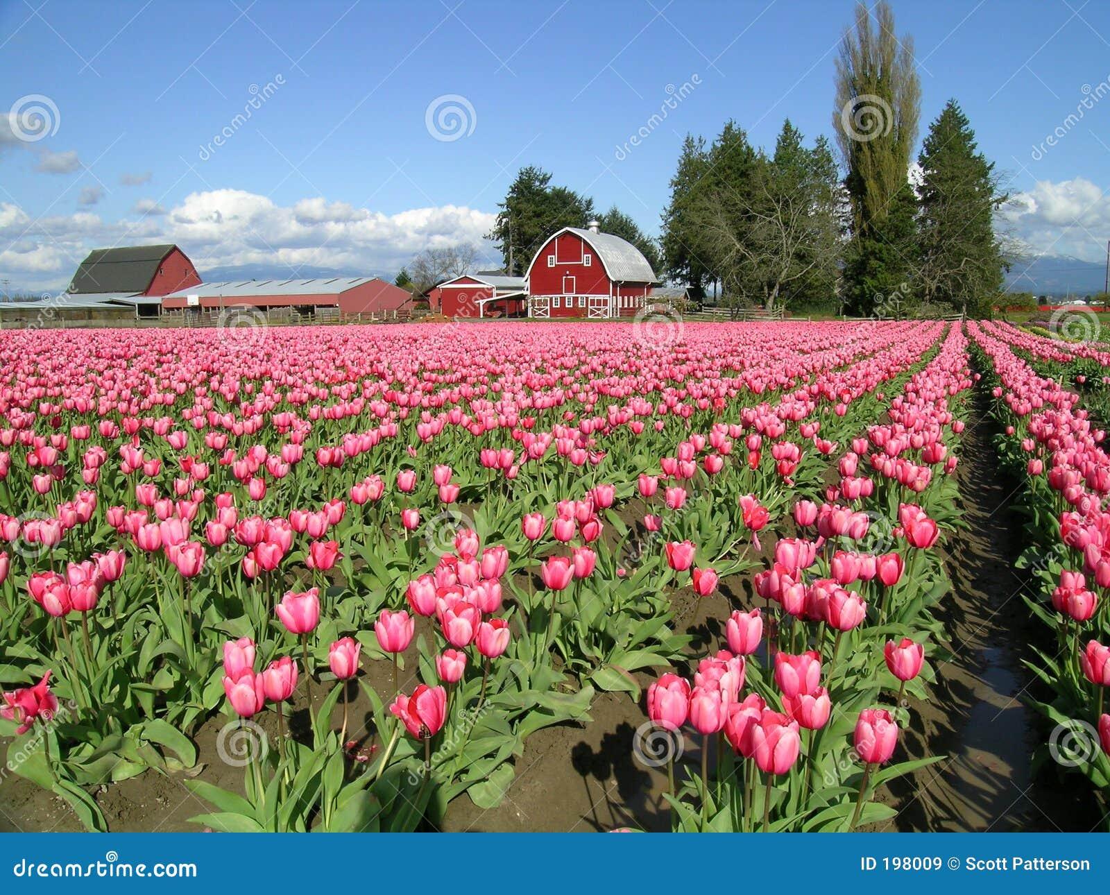 Um celeiro do Tulip