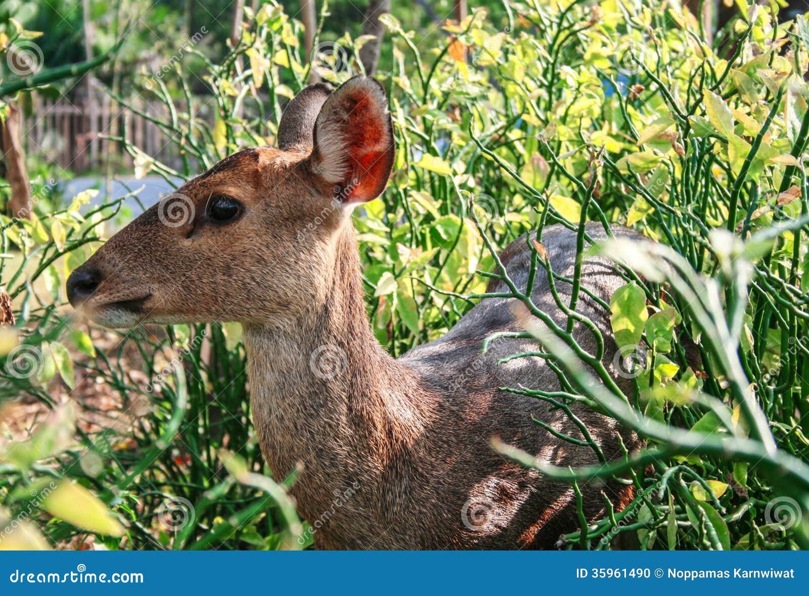 Um cervo no jardim II