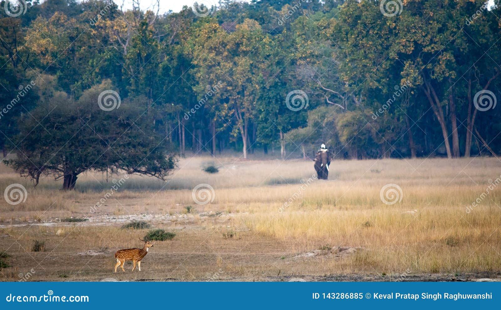 Um clique do cenário da paisagem de cervos e do elefante manchados