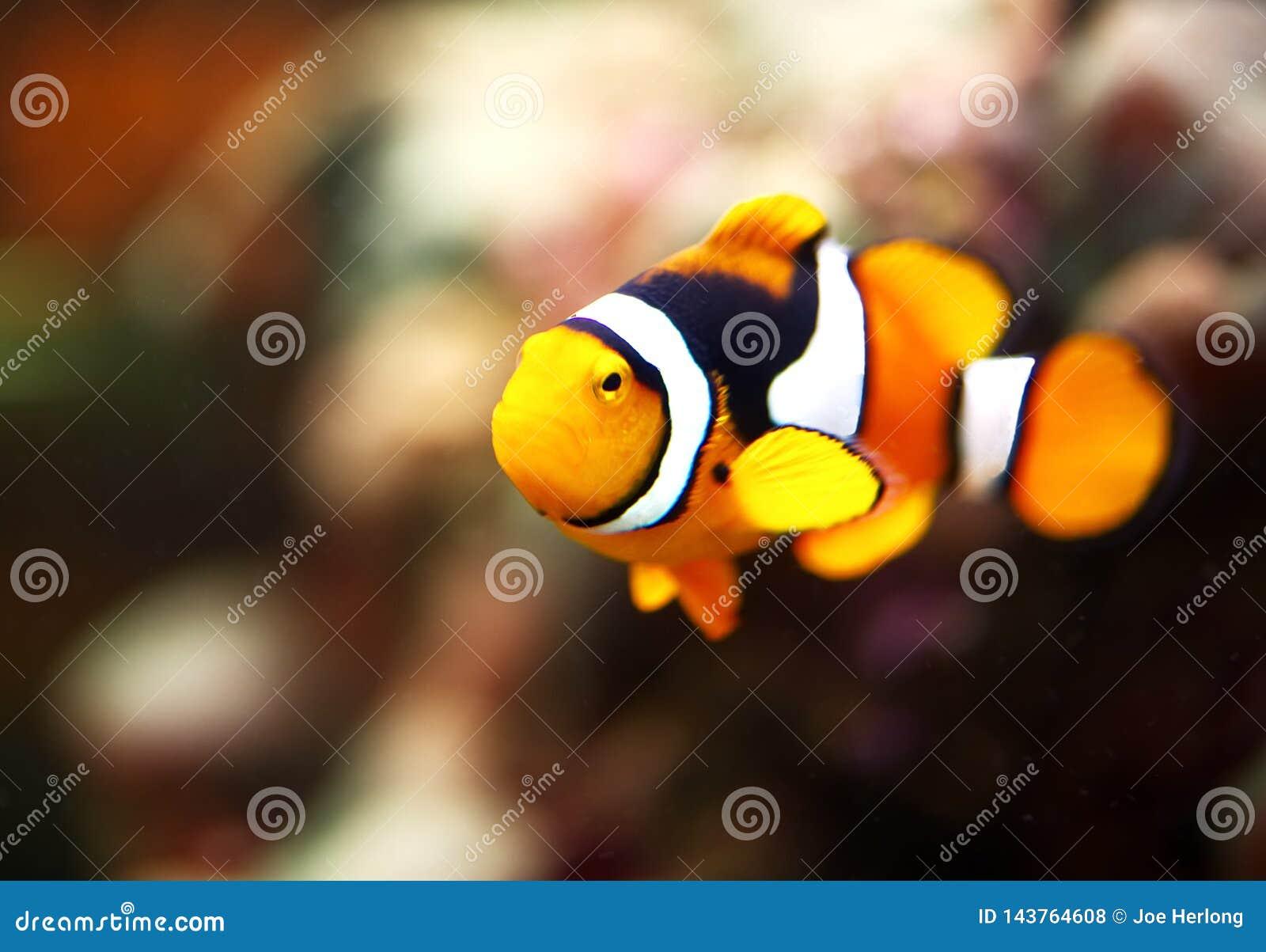 Um close up de um peixe do palhaço em um tanque do recife