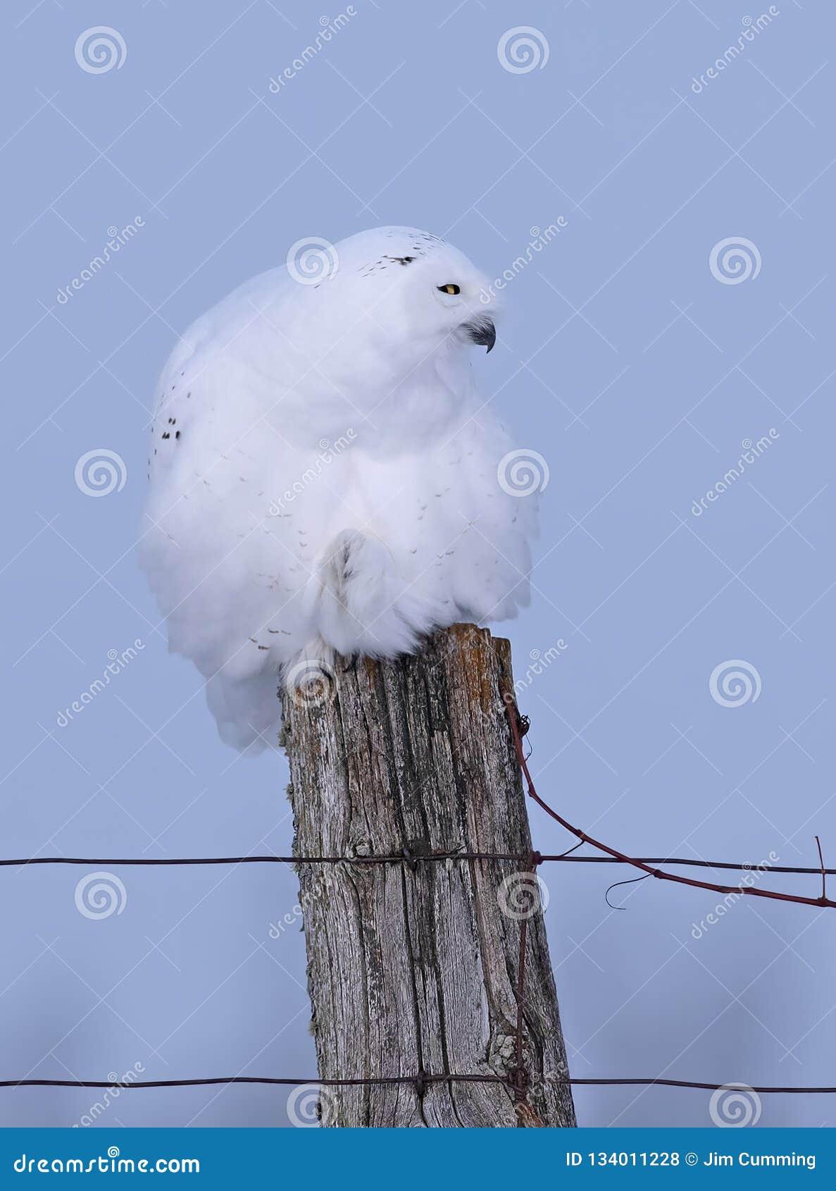 Um close up nevado masculino do scandiacus do bubão da coruja empoleirado em um cargo de madeira no inverno em Ottawa, Canadá