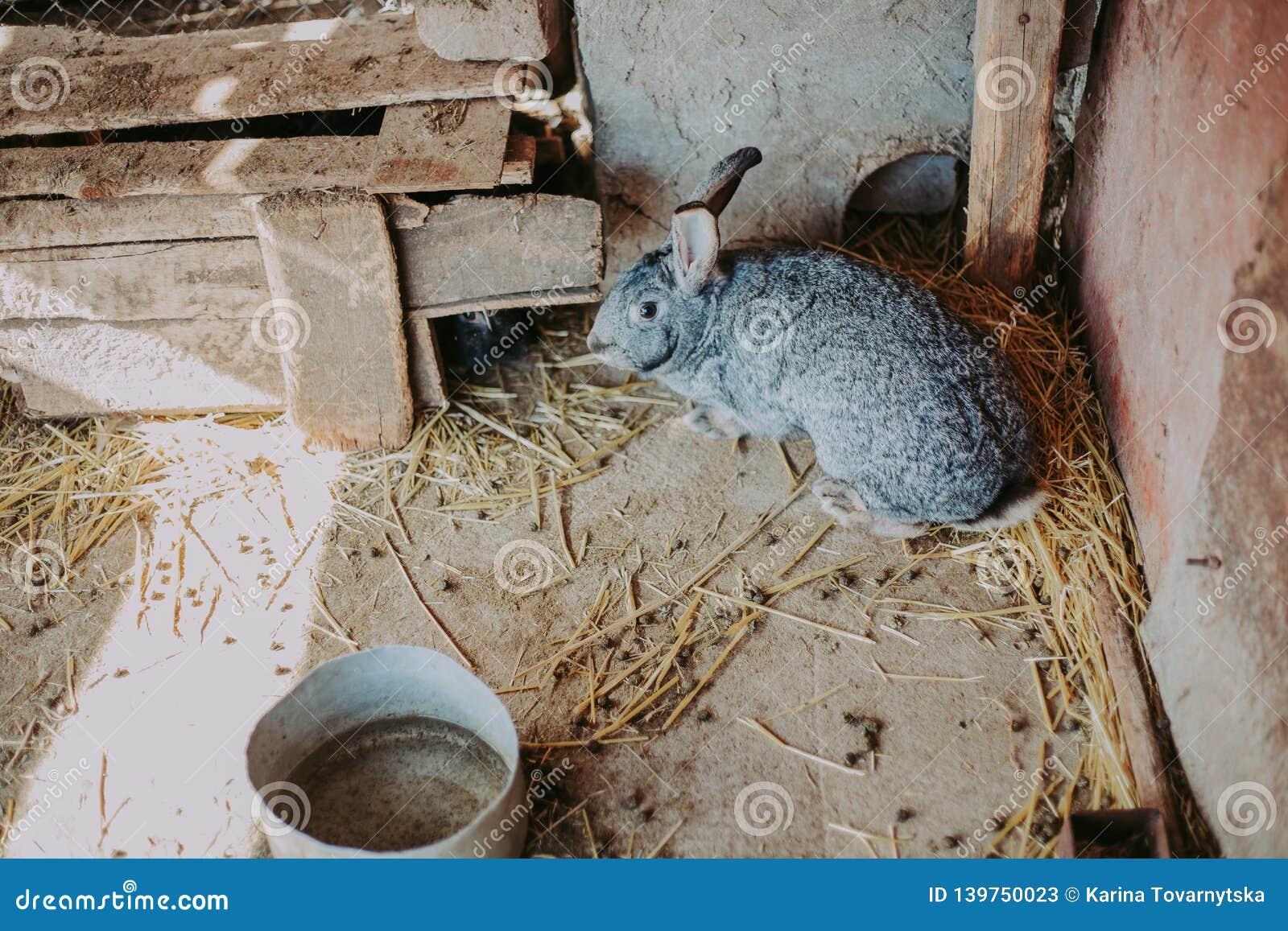 Um coelho cinzento no feno na exploração agrícola Coelho bonito em uma grama seca
