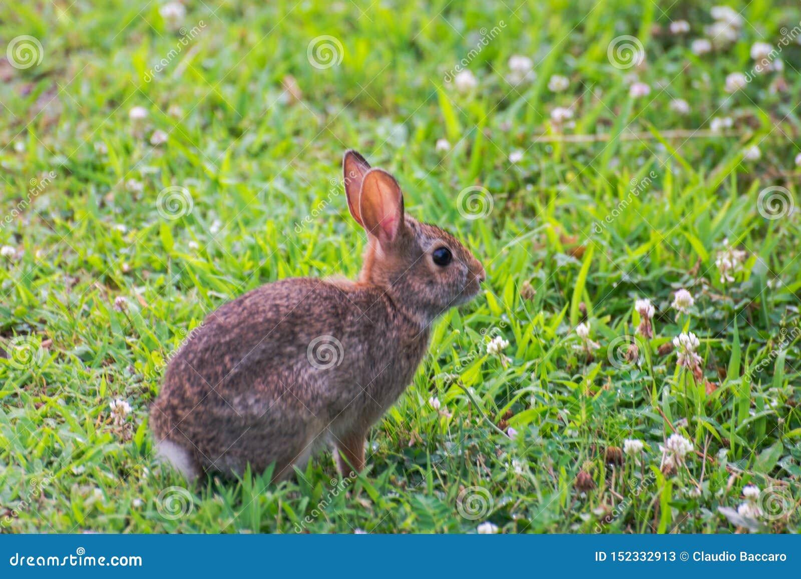 Um coelho selvagem bonito muito pequeno no quintal