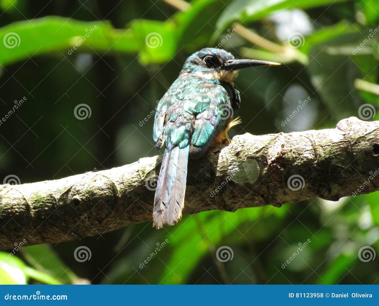 Um colibri no ramo - Mata Atlantica- Paraty