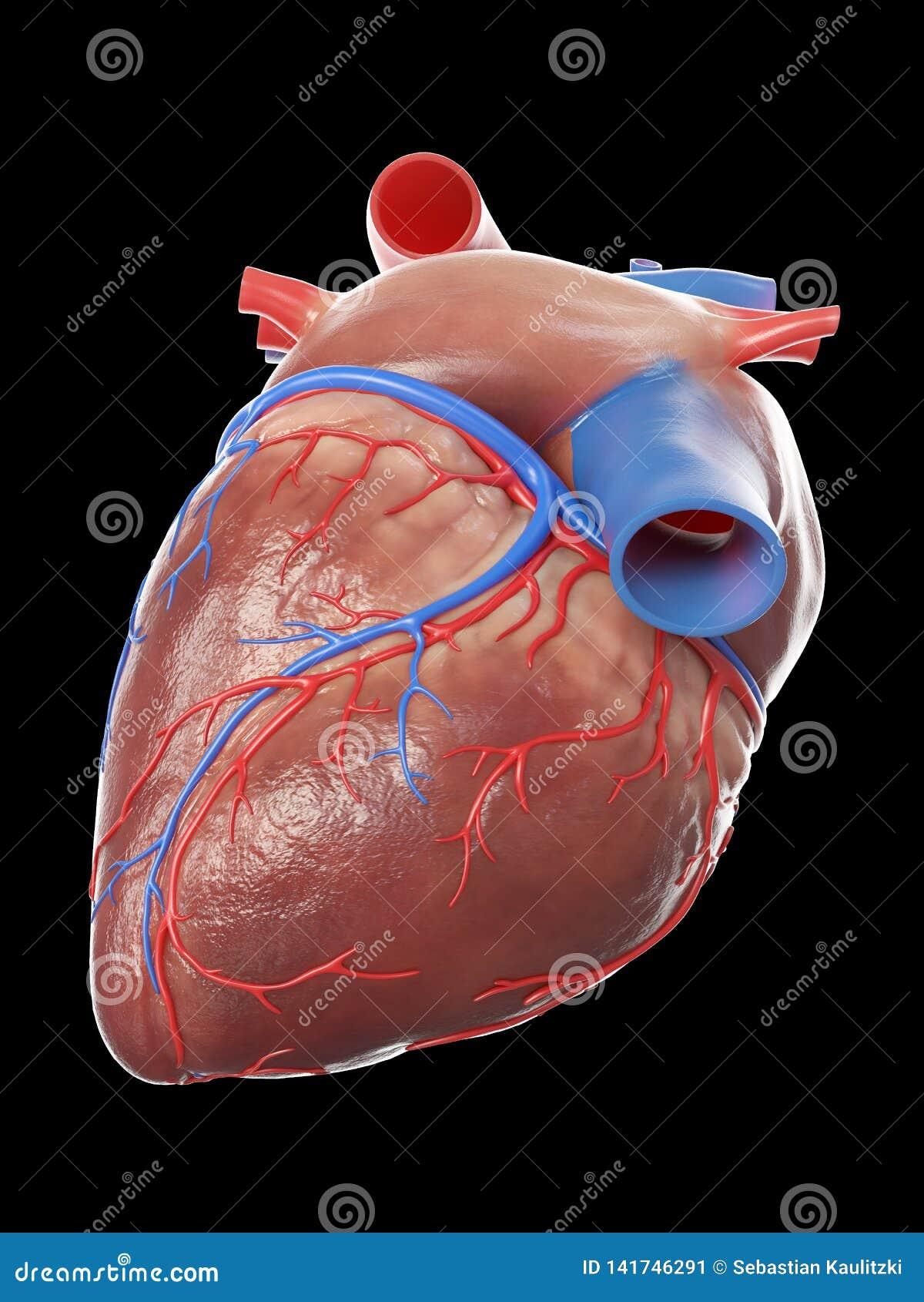 Um coração humano saudável