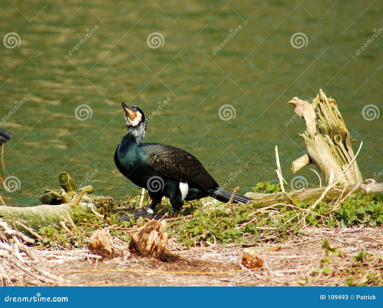 Um cormorant.