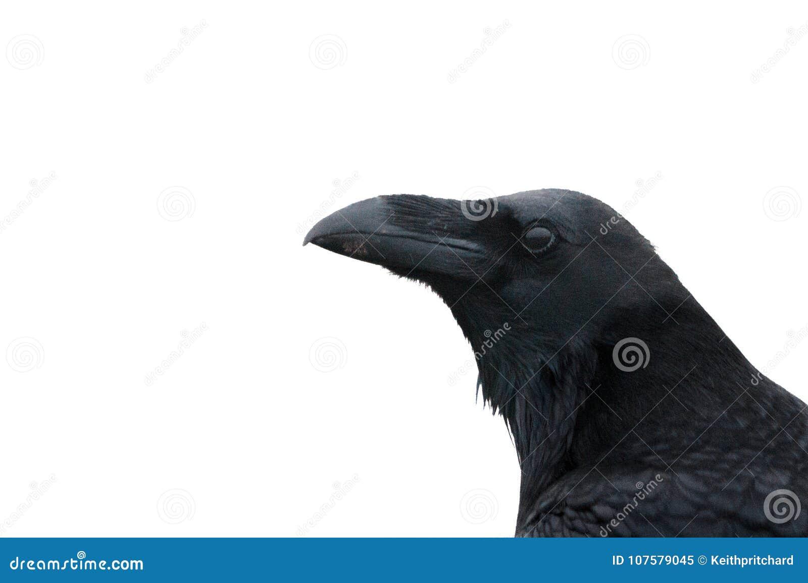 Um corvo, corvo comum, ou corvo do norte, fim acima da cabeça e bico contra o fundo branco