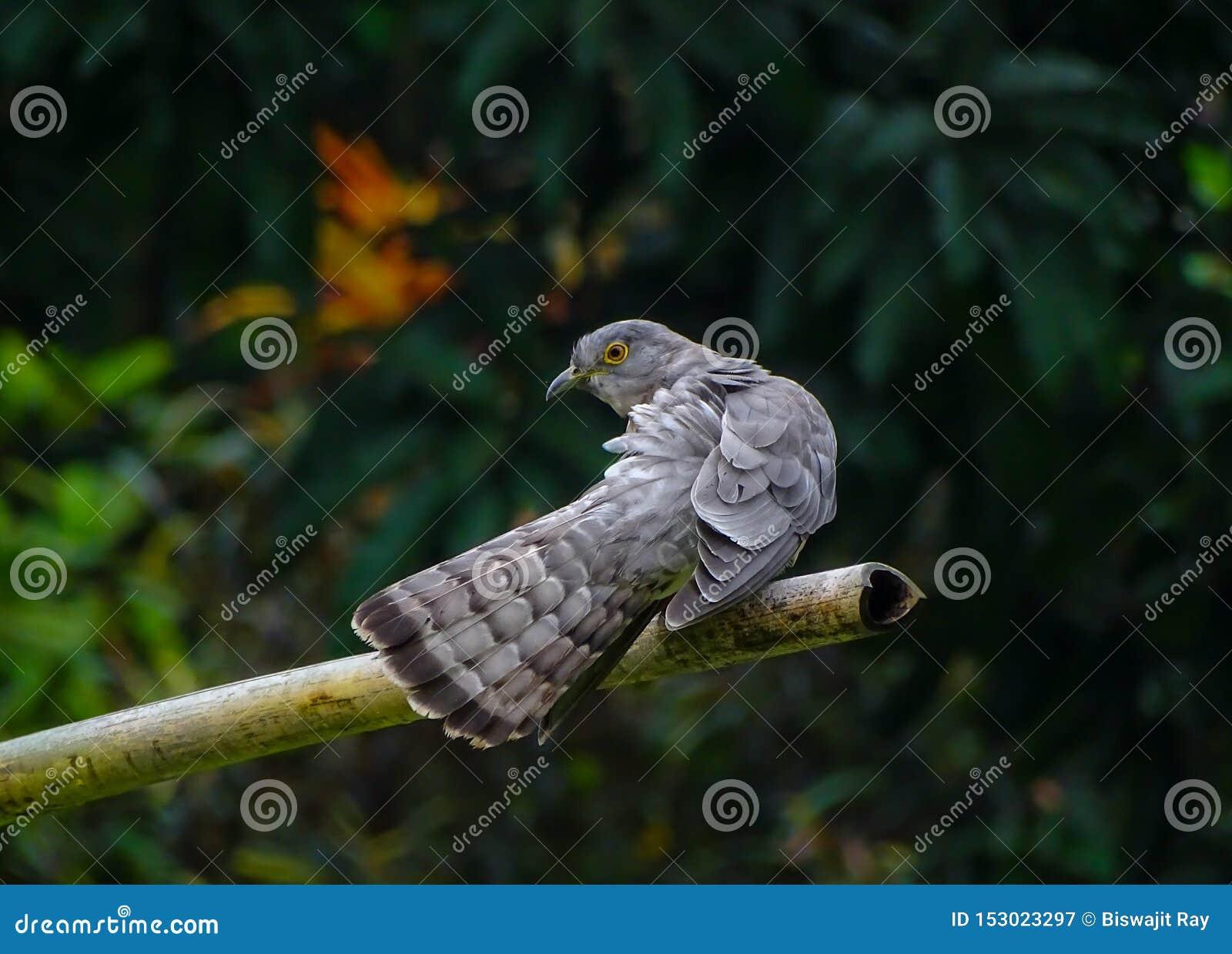 Um cuco comum do falcão é cleanig suas asas