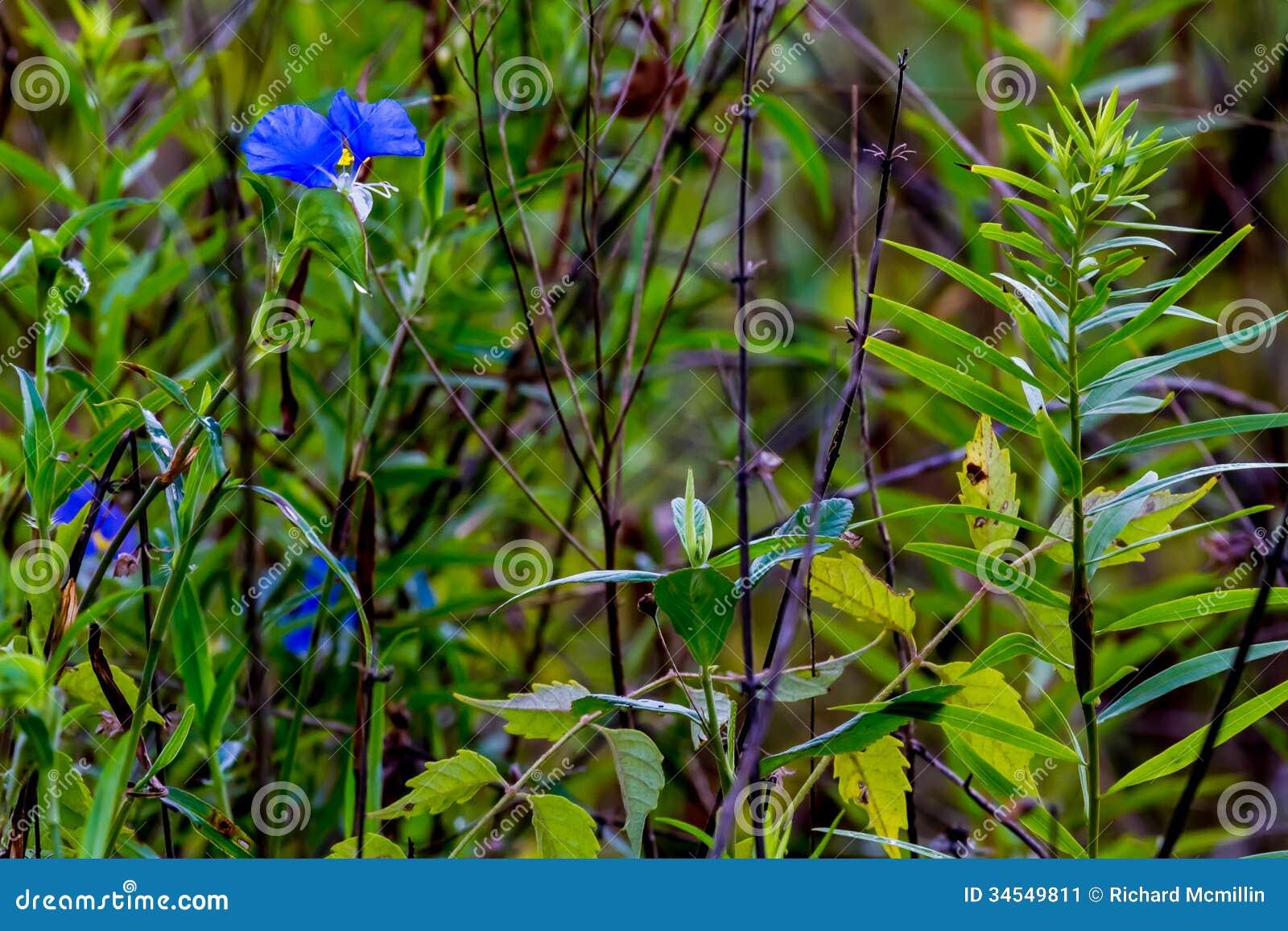 Um Dayflower ereto do azul bonito