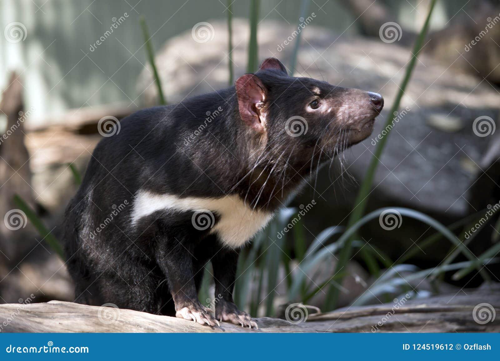 Um diabo tasmaniano