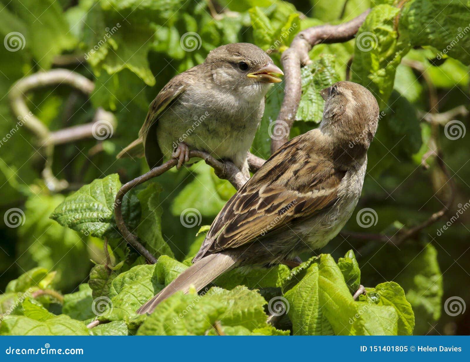 Um domesticus fêmea adulto do transmissor do pardal de casa que alimenta um bebê