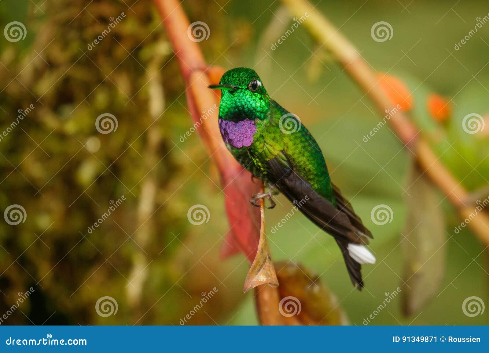 Um dos colibris os mais bonitos, Whitetip Roxo-bibbed