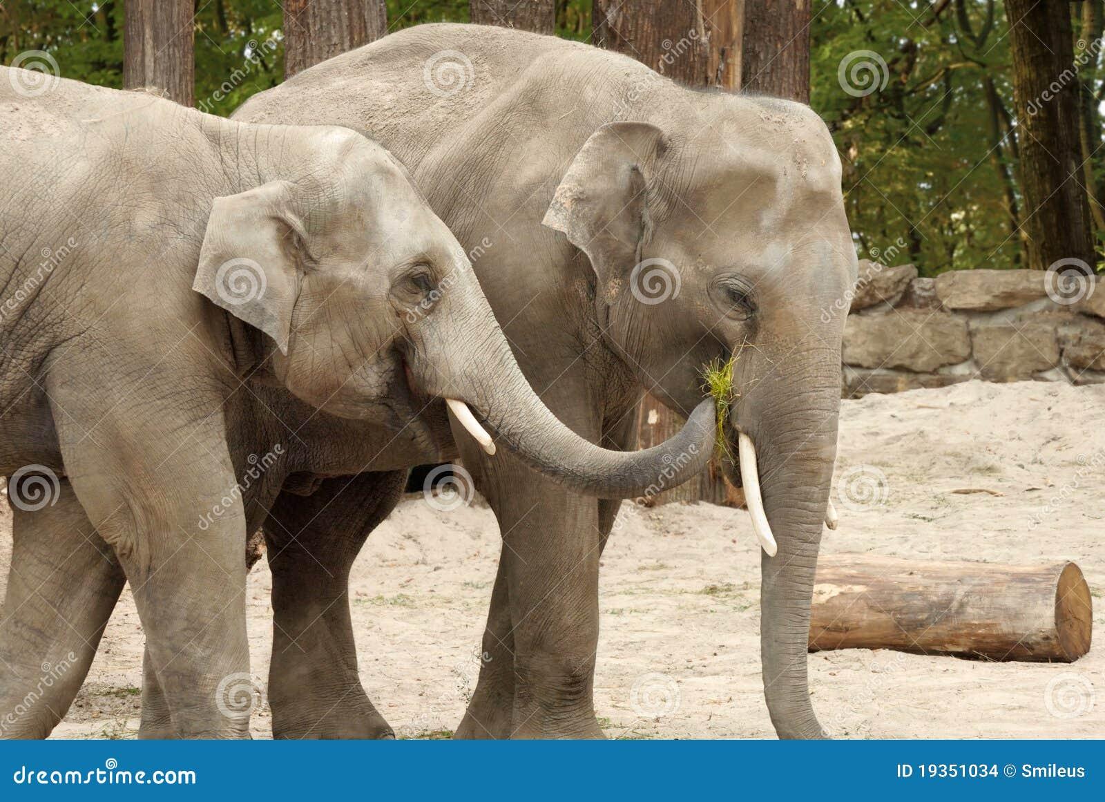 Um elefante que alimenta o outro