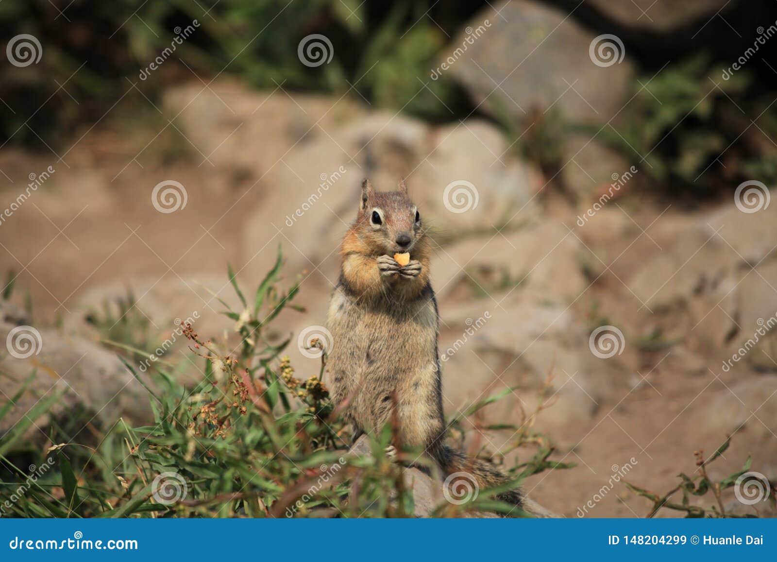 Um esquilo na pedra amarela