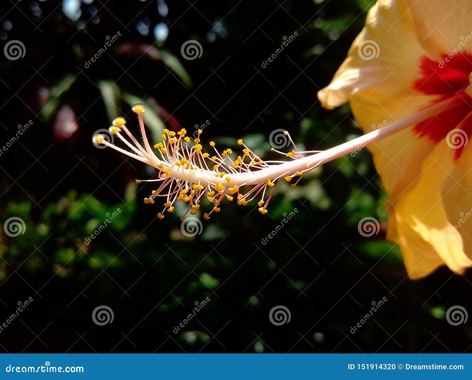 Um estilo amarelo fresco do hibiscus do jardim