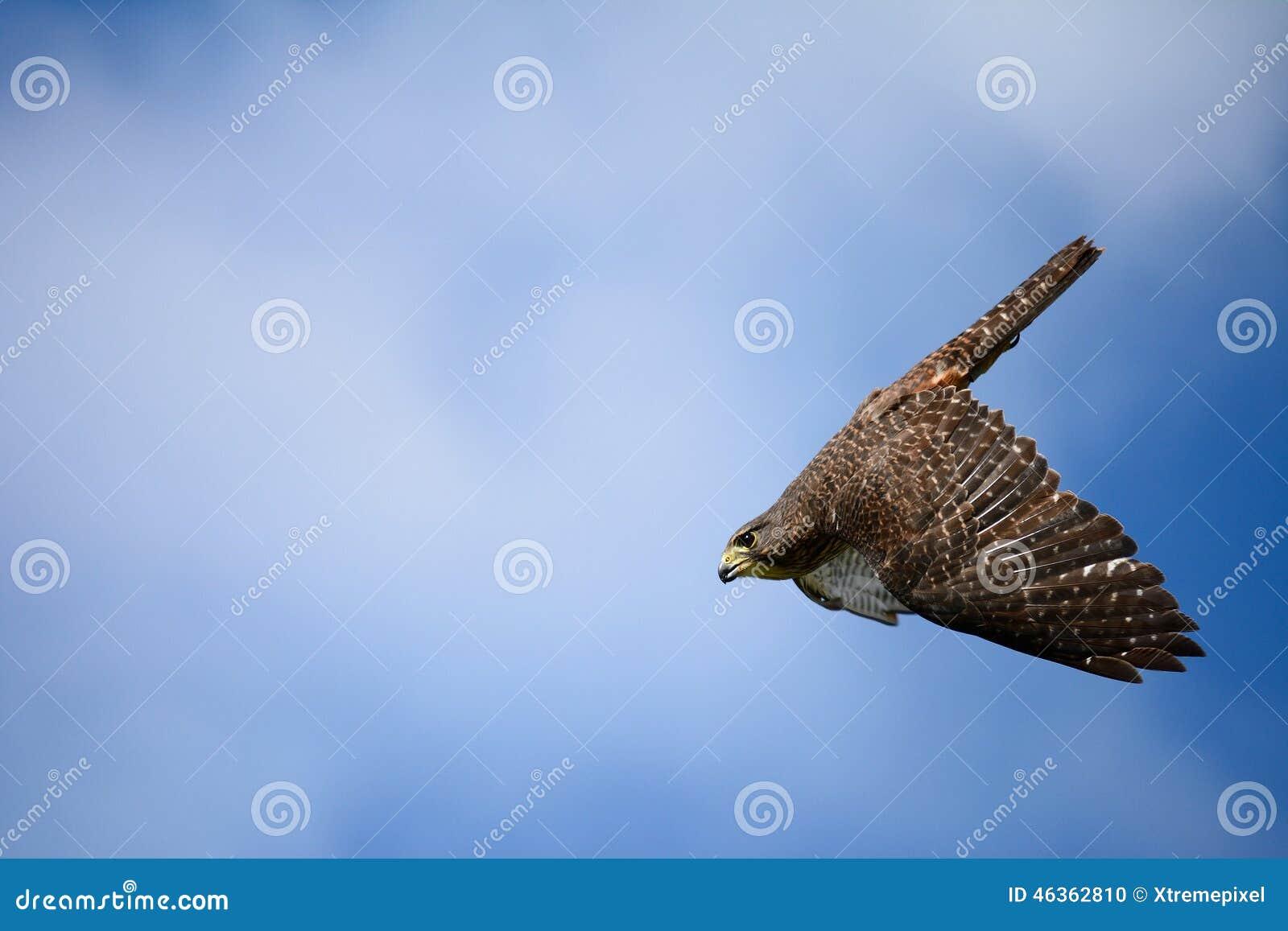 Um falcão