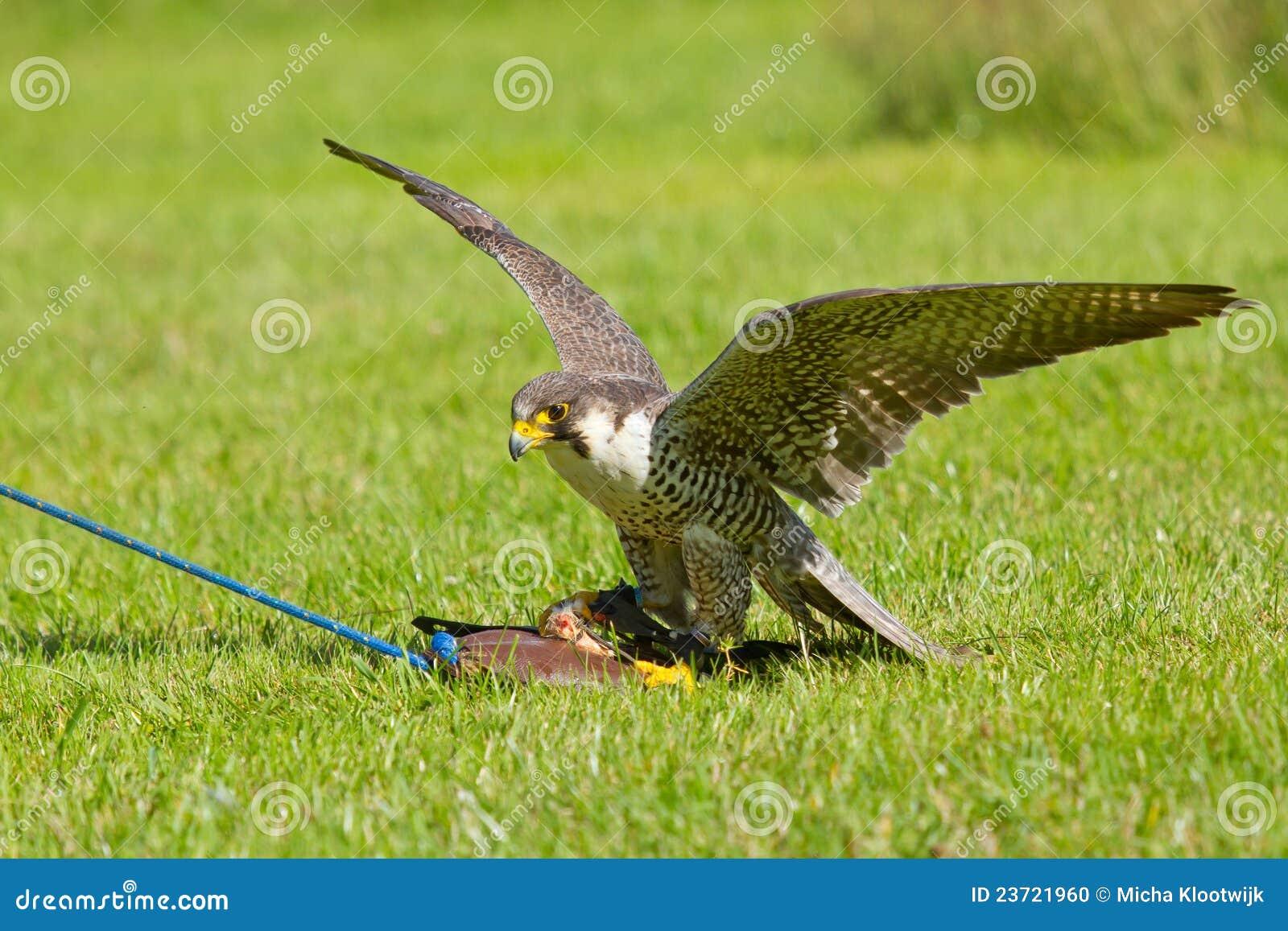 Um falcão no captiveiro