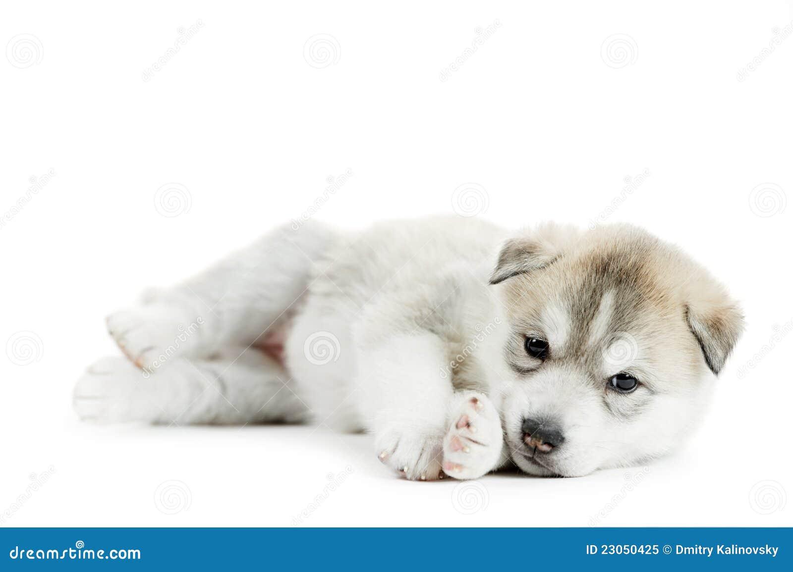 Um filhote de cachorro do cão de puxar trenós Siberian