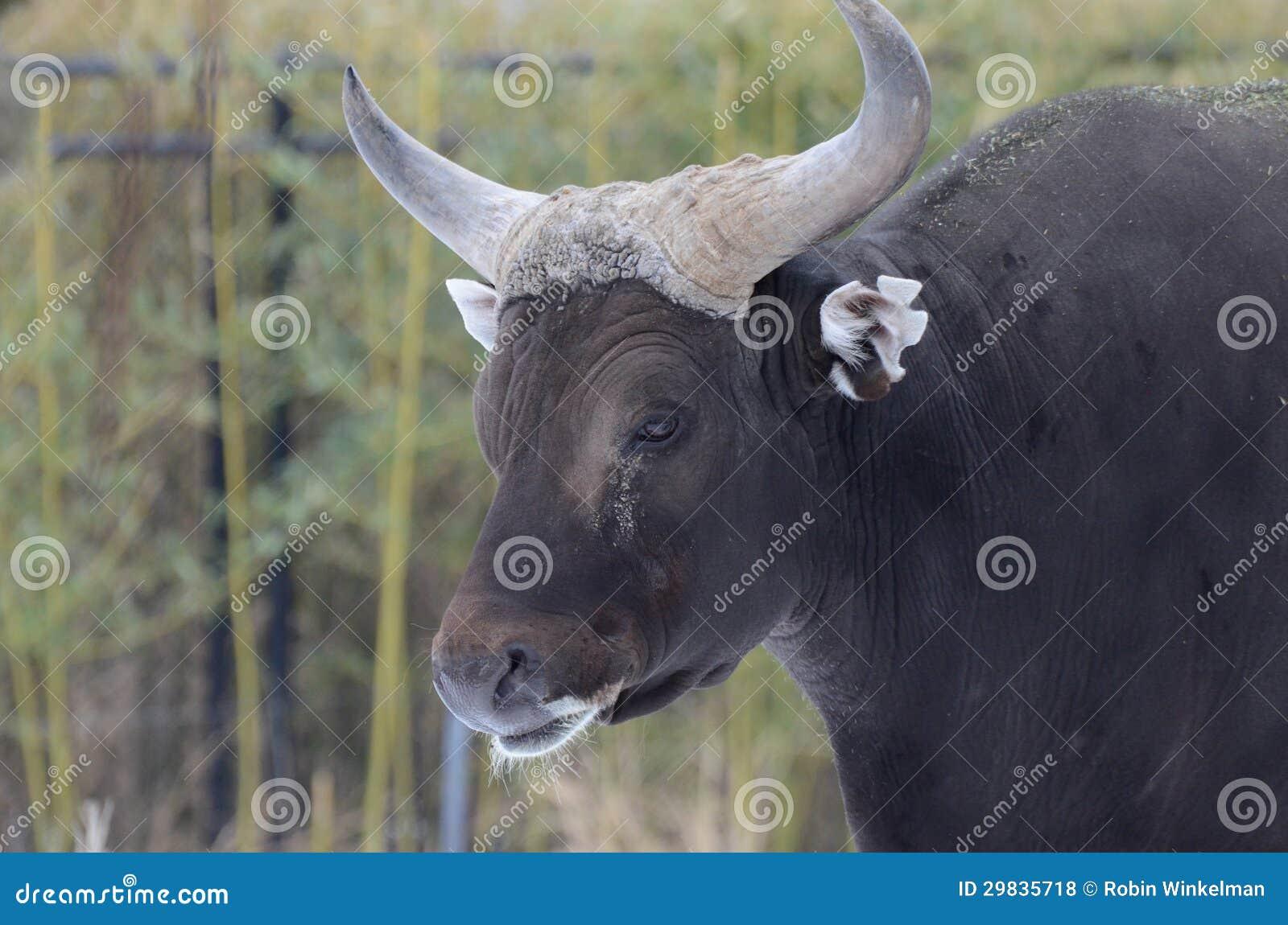 Cabeça masculina do banteng