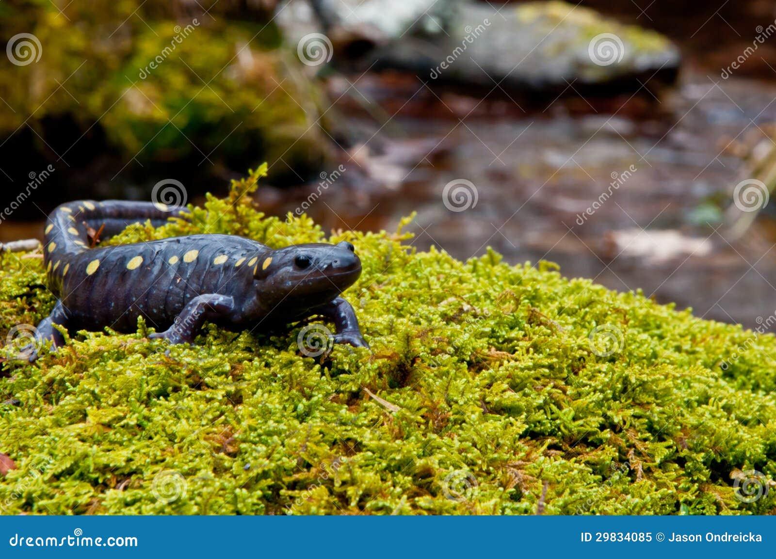 Salamandra manchada